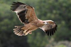 Den barnsliga spanska imperialistiska Eagle - Aquila adalbertien - flyg, Spanien arkivbild