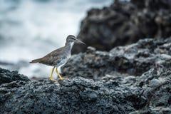 Den barnsliga willeten som går på, vaggar bredvid havet arkivfoton