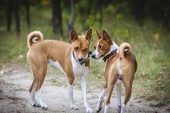 Den Basenji hunden går i parkera Royaltyfri Bild