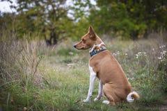 Den Basenji hunden går i parkera Royaltyfria Bilder