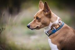 Den Basenji hunden går i parkera Arkivfoto