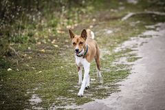 Den Basenji hunden går i parkera Fotografering för Bildbyråer