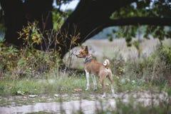 Den Basenji hunden går i parkera Arkivfoton