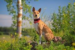 Den Basenjis hunden sitter Arkivbilder