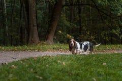 Den Basset Hound hunden går på banan Royaltyfri Foto