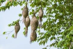 Den Baya vävarefågeln bygga bo på en förgrena sig av treen Fotografering för Bildbyråer