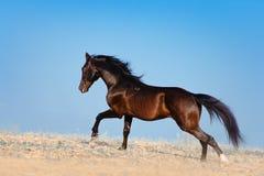 Den bedöva svarta hingsten som galopperar över fältet på en bakgrund av blå himmel royaltyfri fotografi