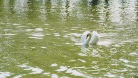Den behagfulla vita svanen svävar i ett damm lager videofilmer
