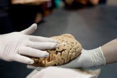 Den behandskade handen trycker på människan Brain At Science Expo Fotografering för Bildbyråer