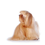 Den beigea dekorativa vovven sitter på en vit bakgrund. Royaltyfri Fotografi