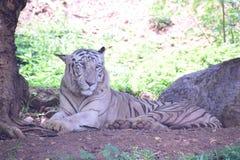 Den Bengal tigern är Pantheratigris en frank PIC arkivfoton