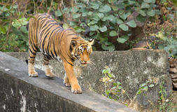 Den bengal tigern Royaltyfria Foton