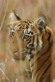 Den bengal tigern Royaltyfria Bilder