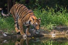 Den Bengal tigern kommer till en waterhole att dricka på den Sunderban nationalparken Royaltyfri Bild