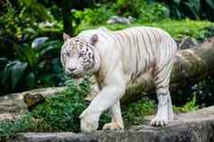 Den Bengal tigern på den Singapore zoo royaltyfria foton