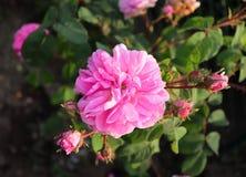 Den berömda rosa Rosa Centifolia, rosa Provence eller kålros är en blandros framkallat av den rosa breedersinen för holländare Arkivfoto