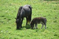 Den betande familjen av miniatyrhästar i ett gräs betar Royaltyfria Foton