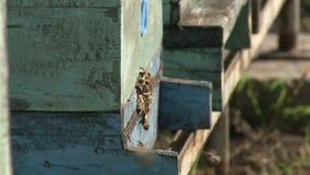 3 in 1, in den Bienen und in der Reihe von Bienenstöcken auf der Weide stock video footage