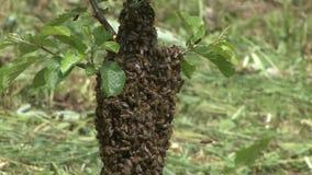 den bildade away flugan för familjen för dwellingen för bibifilialen hänger treen för tid för svärmen för seten för delen för kry arkivfilmer