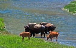 Den Bison Buffalo Cows korsningen floden med behandla som ett barn kalvar i den Yellowstone nationalparken Arkivbild