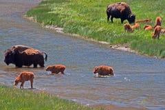 Den Bison Buffalo Cows korsningen floden med behandla som ett barn kalvar i den Yellowstone nationalparken Royaltyfri Bild