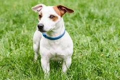 Den blåa anti-fästingen och loppan förser med krage på gullig hund Arkivbild
