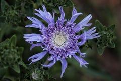 Den blåa asterblomman öppnar till solen Arkivfoton