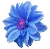 Den blåa blommadahlian, vit isolerade bakgrund med den snabba banan closeup Inget skuggar lila-rosa färger mitt Slapp fokus För d Fotografering för Bildbyråer