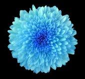 Den blåa blommakrysantemumet, trädgårds- blomma, svärtar isolerad bakgrund med den snabba banan closeup Inget skuggar blå mitt arkivbild