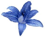 Den blåa blommaliljan på en vit isolerade bakgrund med den snabba banan inga skuggor Lilja efter regnet med droppar av vatten på  Arkivbild