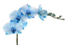 den blåa blomman blommar orchidorchidsphalaenopsis arkivbild