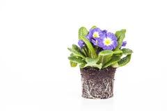 Den blåa blomman med det gröna bladet och rotar på brun jord som isoleras på vit bakgrund Royaltyfri Foto