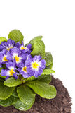 Den blåa blomman med det gröna bladet och rotar på brun jord som isoleras på vit bakgrund Royaltyfria Bilder