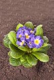Den blåa blomman med det gröna bladet och rotar på brun jordbakgrund Royaltyfri Bild