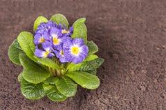 Den blåa blomman med det gröna bladet och rotar på brun jordbakgrund Arkivfoto