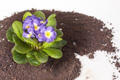 Den blåa blomman med det gröna bladet och rotar på brun jordbakgrund Royaltyfri Fotografi