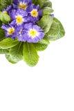 Den blåa blomman med det gröna bladet på vit isolerade bakgrund Arkivbild