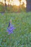 Den blåa Camas vildblomman tände vid soluppgång och guld- strålar av solen Royaltyfri Bild