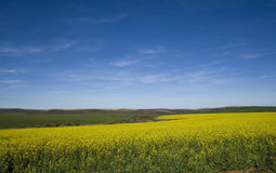 den blåa canolaen fields skyen Royaltyfria Bilder
