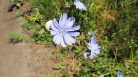 den blåa chicorydrogen fields grön ört två för blommor Royaltyfria Bilder