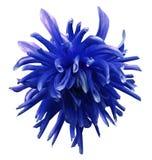 Den blåa dahliablomman på vit isolerade bakgrund med den snabba banan inga skuggor closeup Arkivfoton