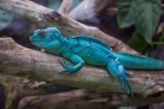 Den blåa draken gillar lizzard royaltyfri bild