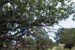 Den blåa fågeln på ett grönt träd i skogen Arkivbilder