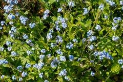 Den blåa förgätmigejen blommar i en trädgård Royaltyfri Foto