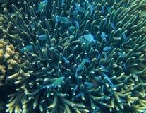 Den blåa fisken döljer i spetsig korall Exotisk öhavskust Undervattens- foto för tropiskt kustlandskap Royaltyfria Bilder