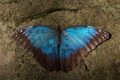 Den blåa fjärilen med vaggar bakgrund Fotografering för Bildbyråer