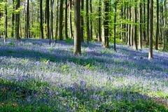 Den blåa Forest Hallerbos i Bryssel Belgien under våren Blåa lösa blommor och bokträdträd Arkivfoto