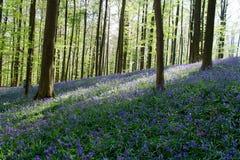 Den blåa Forest Hallerbos i Bryssel Belgien under våren Blåa lösa blommor och bokträdträd stranden chairs ett paraply för kupasun Arkivfoto