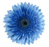 Den blåa gerberablomman på en vit isolerade bakgrund med den snabba banan closeup För design fotografering för bildbyråer