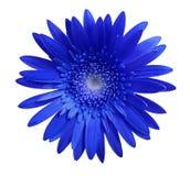 Den blåa gerberablomman på vit isolerade bakgrund med den snabba banan closeup Inget skuggar För design arkivfoto